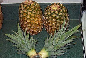 Как вырастить ананас из верхушки Image?t=0&bid=772170770745&id=772170770745&plc=WEB&tkn=*3xMOntnVj4D2xeeh3dS1Cd434M8