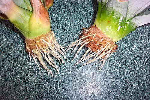 Как вырастить ананас из верхушки Image?t=0&bid=772170790201&id=772170790201&plc=WEB&tkn=*SEqp5ukLHbw2DrcJkEQk39COYTc